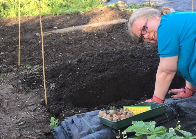 Sandra planting out potatoes